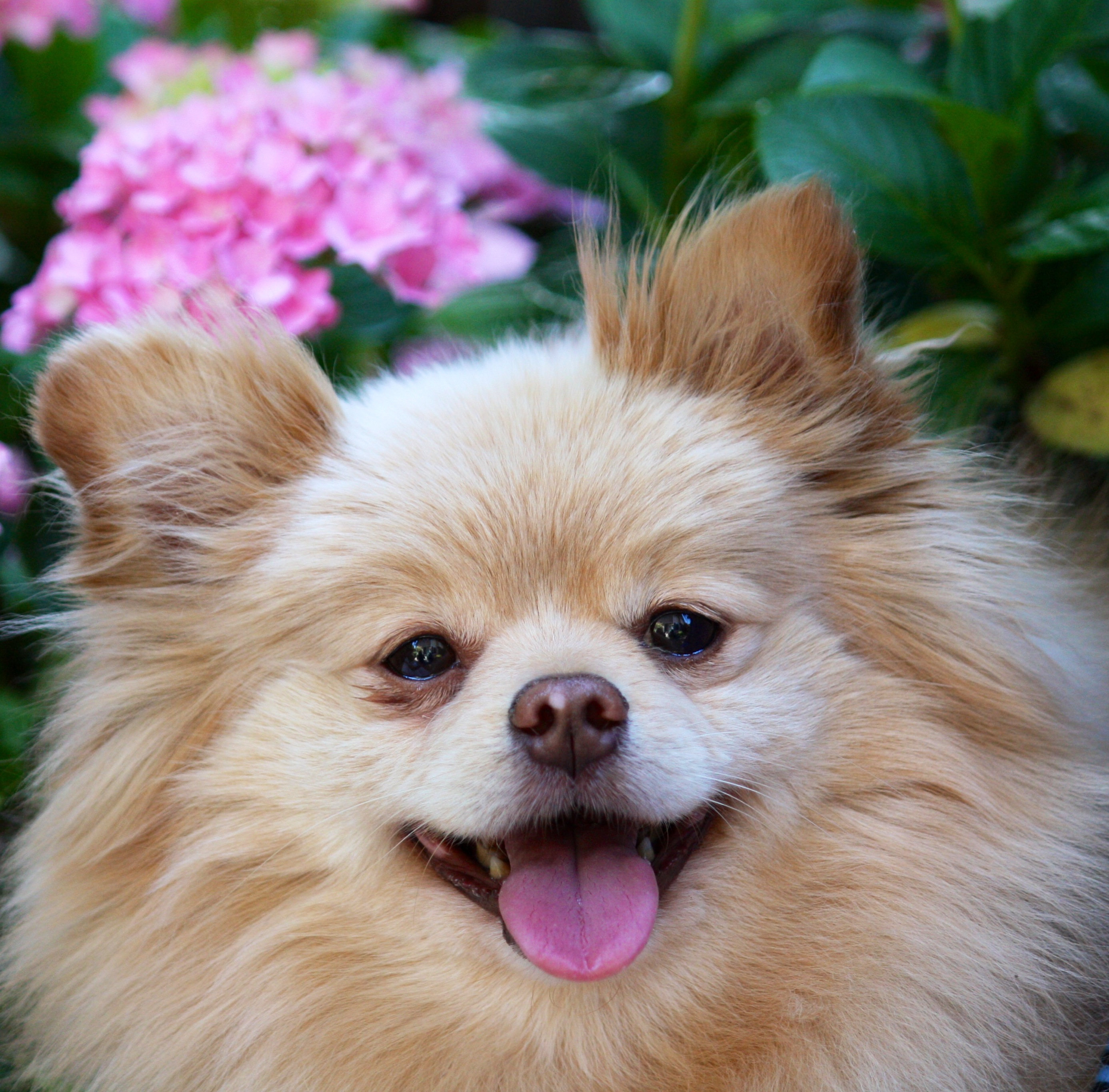 Pomeranian dog and a flower wallpaper
