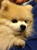 Pomeranian dog face