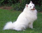 Pomeranian dog on the grass