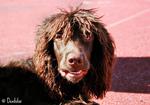 Pont-Audemer Spaniel dog face