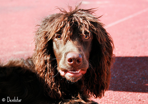 Pont-Audemer Spaniel dog face wallpaper