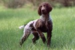 Pont-Audemer Spaniel dog on the grass