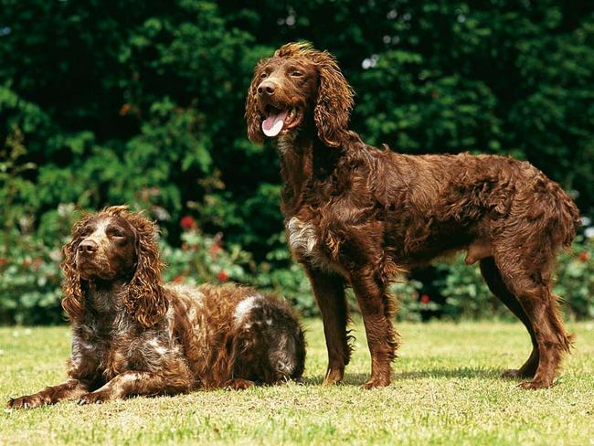 Pont-Audemer Spaniel dogs wallpaper