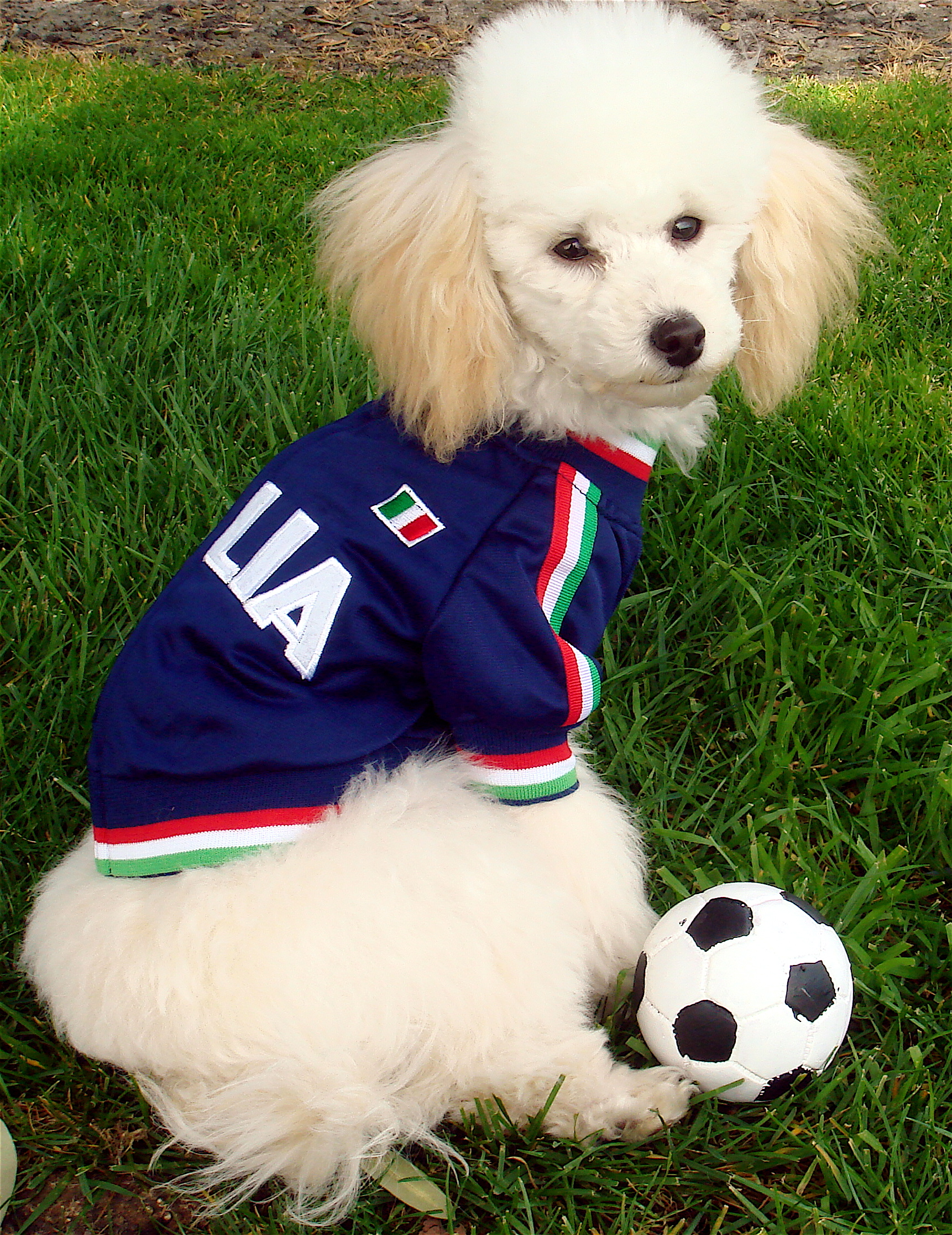 Poodle dog football wallpaper