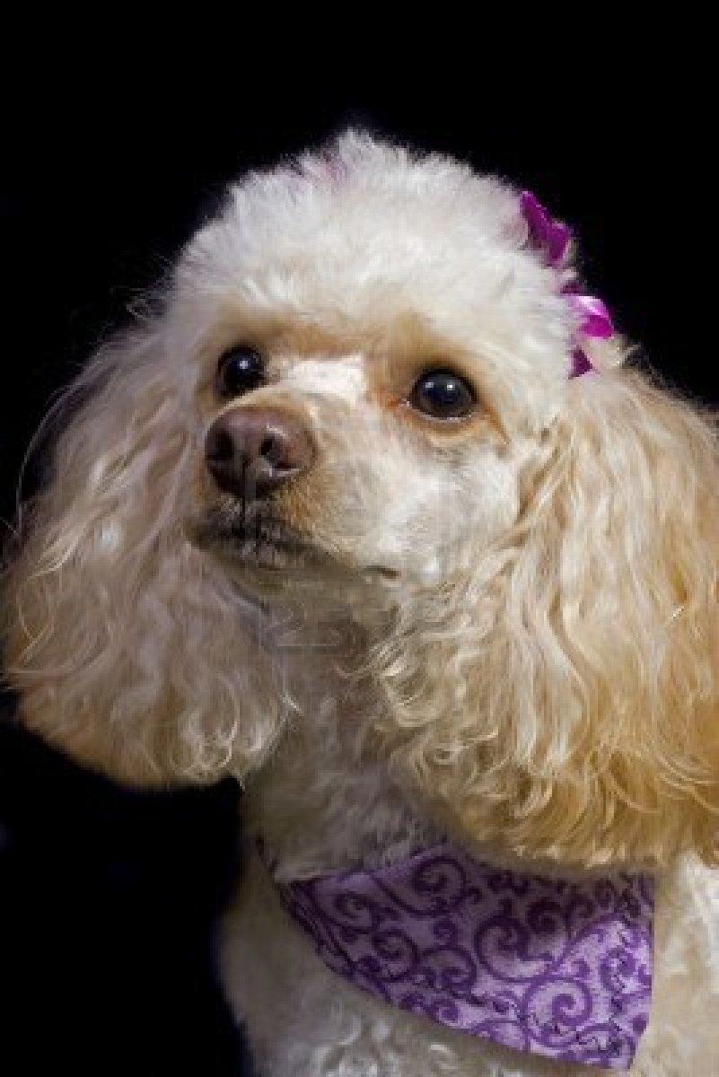 Poodle dog girl wallpaper