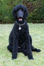 Poodle dog on the grass