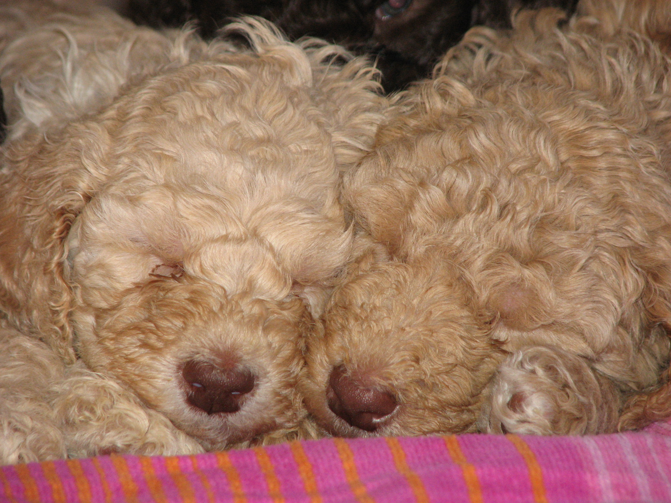 Poodle puppies wallpaper