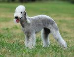 Portret Bedlington Terrier