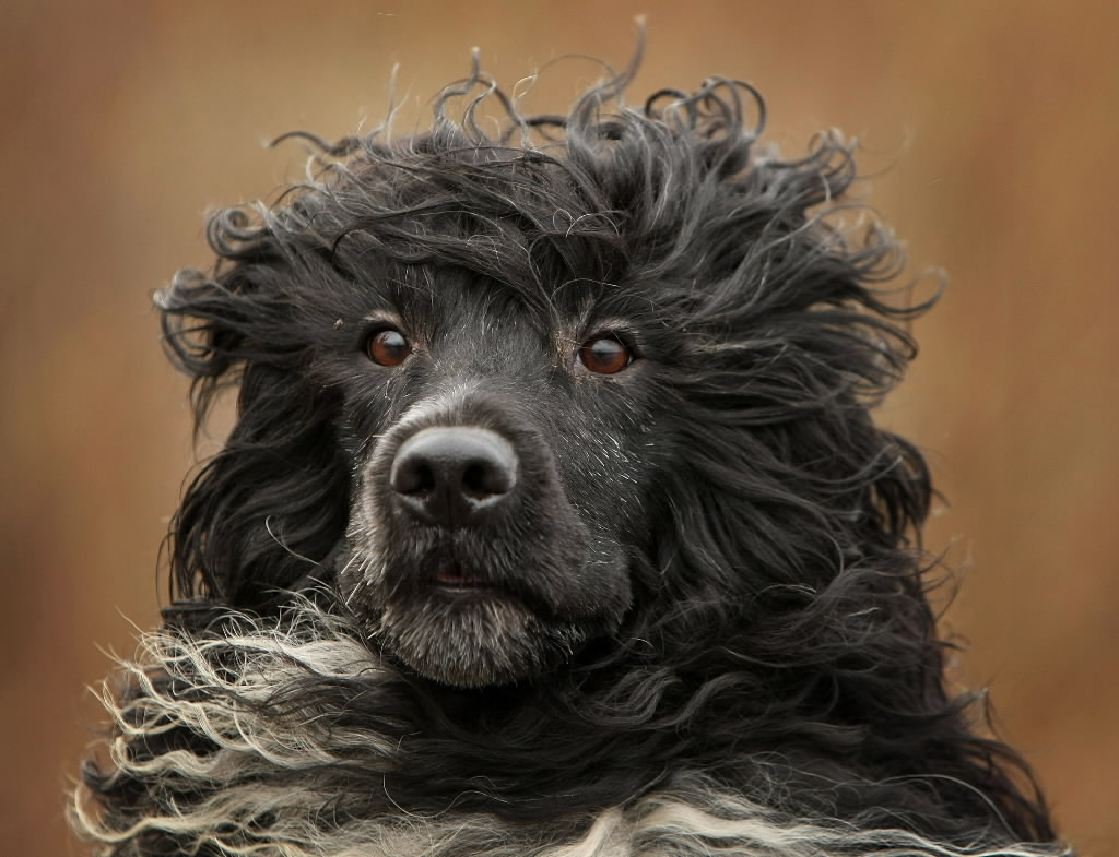 portuguese-water-dog-face-wallpaper.jpg