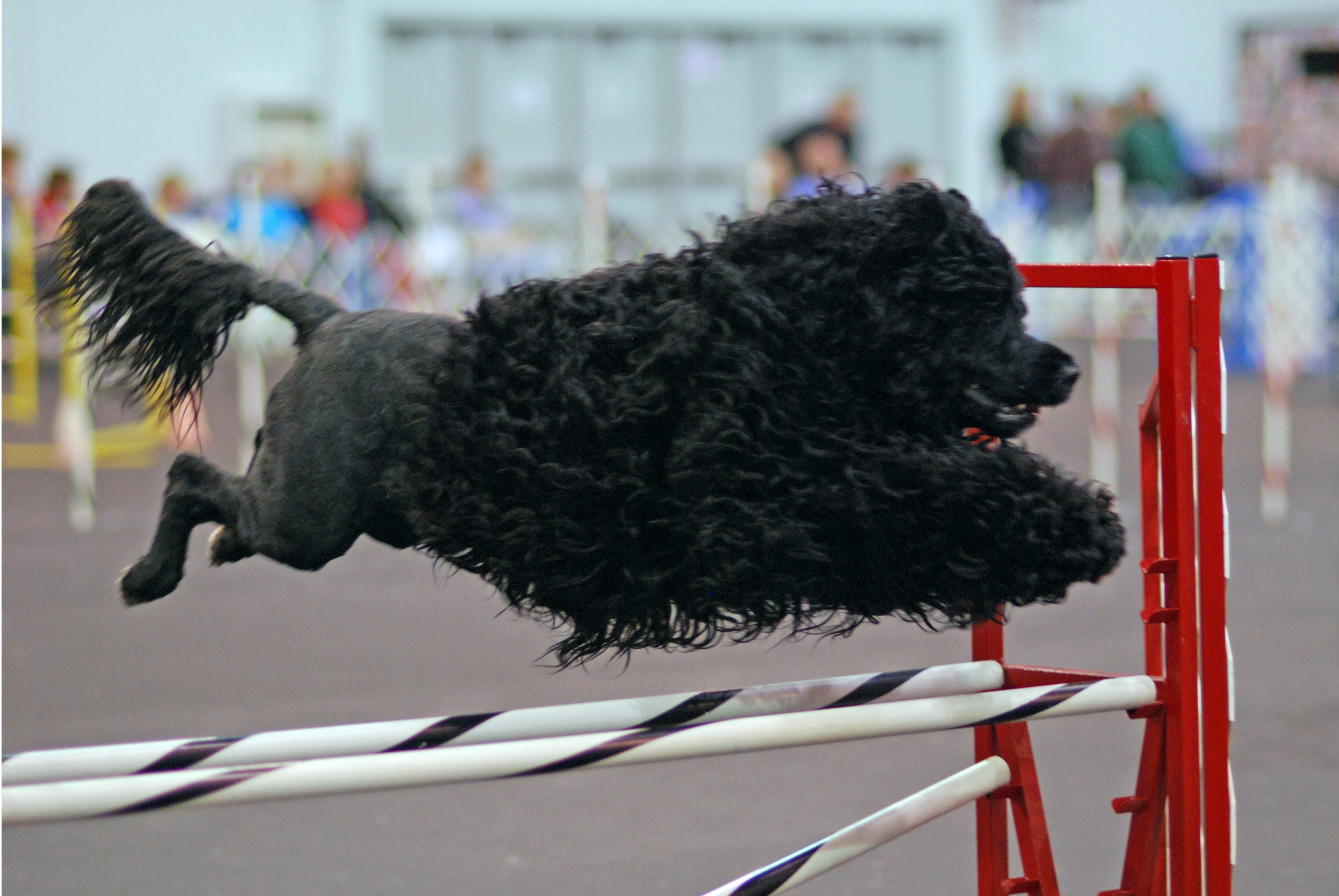 Portuguese Water Dog in competitions wallpaper