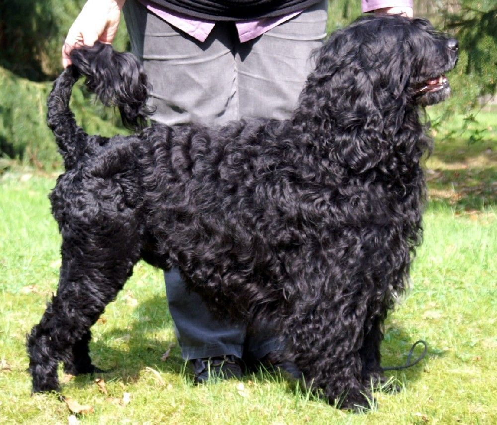 Portuguese Water Dog wallpaper