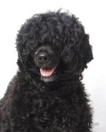 Portuguese Water Dog portrait