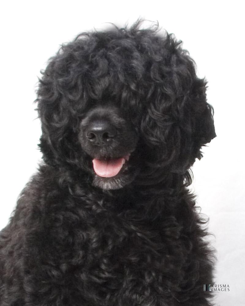 Портрет португальской водяной собаки фото