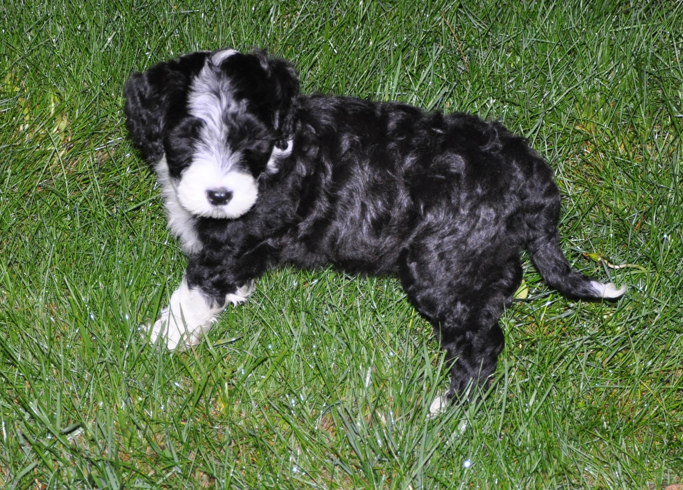 Portuguese Water Dog puppy wallpaper