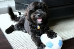 Portuguese Water Dog with a ball