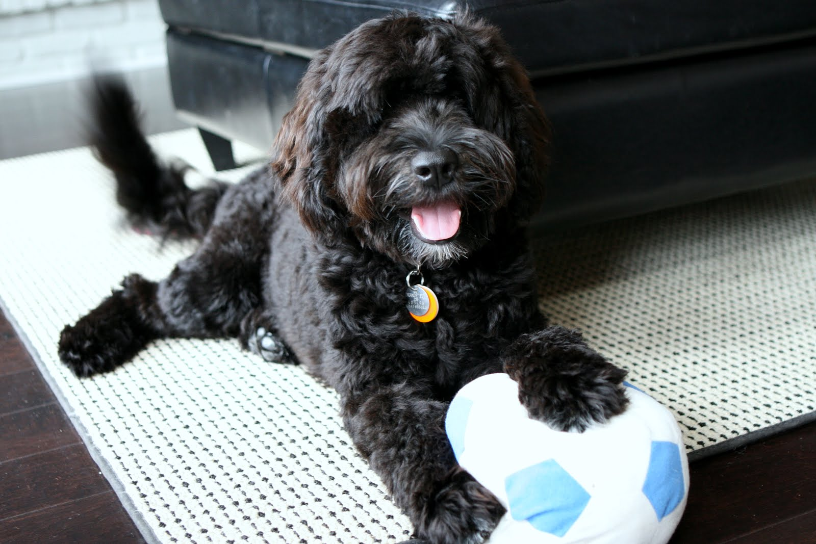 Portuguese Water Dog with a ball wallpaper