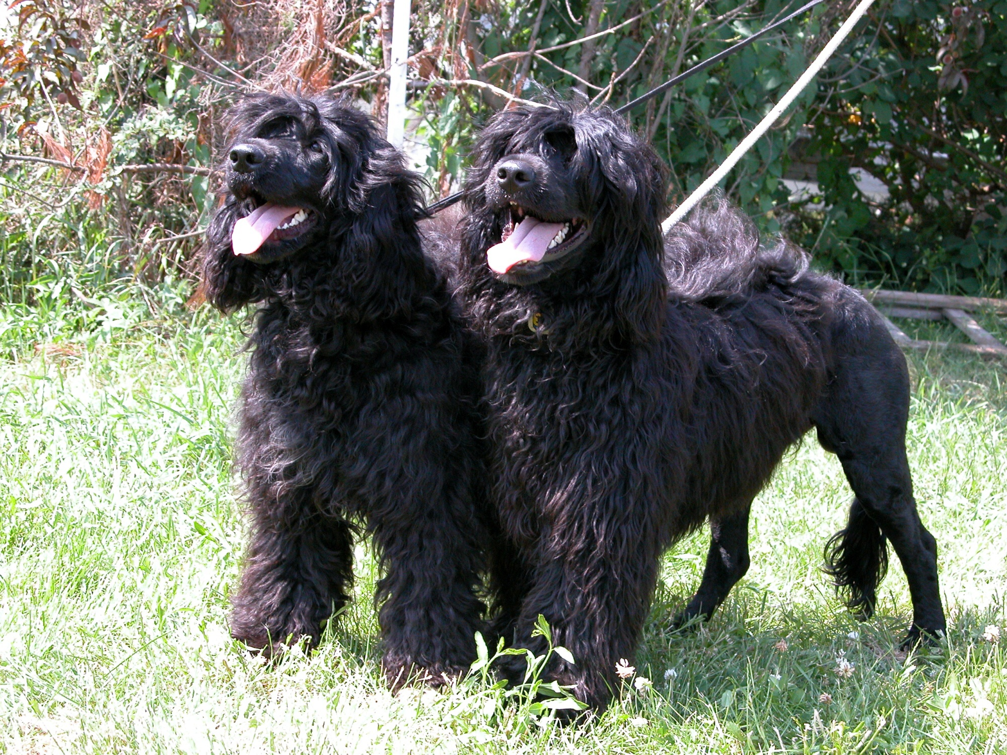 Portuguese Water Dogs wallpaper