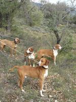 Posavac Hound dogs