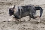Хищная американская эльзасская собака