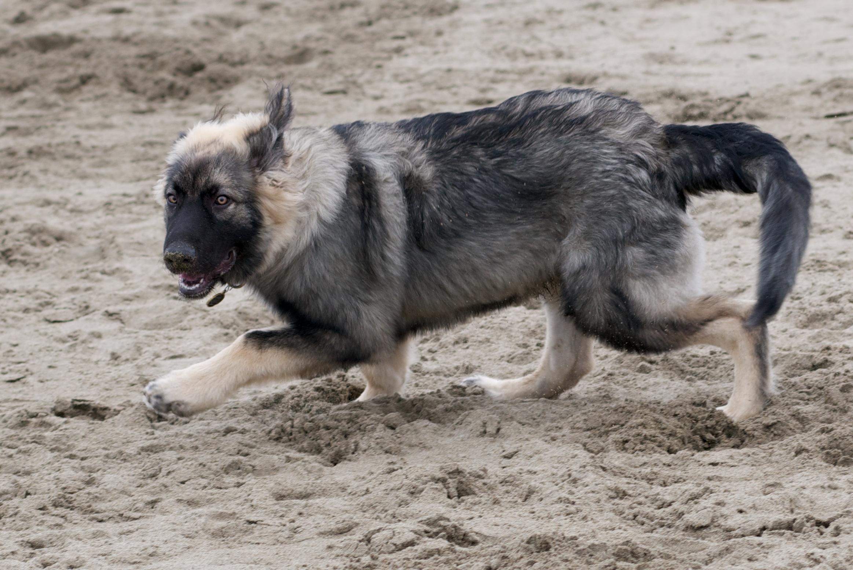 Хищная американская эльзасская собака фото