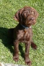 Pudelpointer puppy