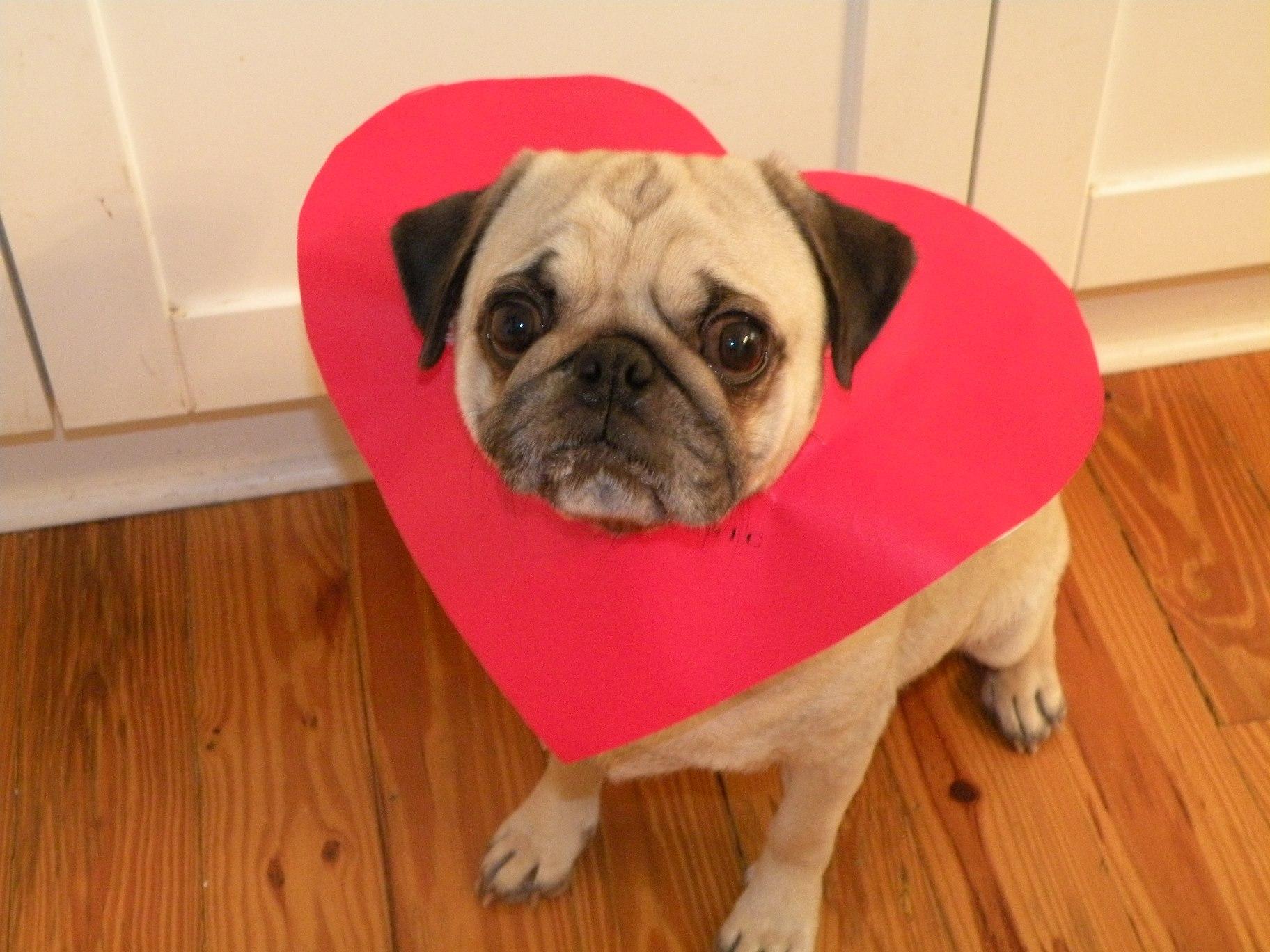 Pug dog and cute heart фото