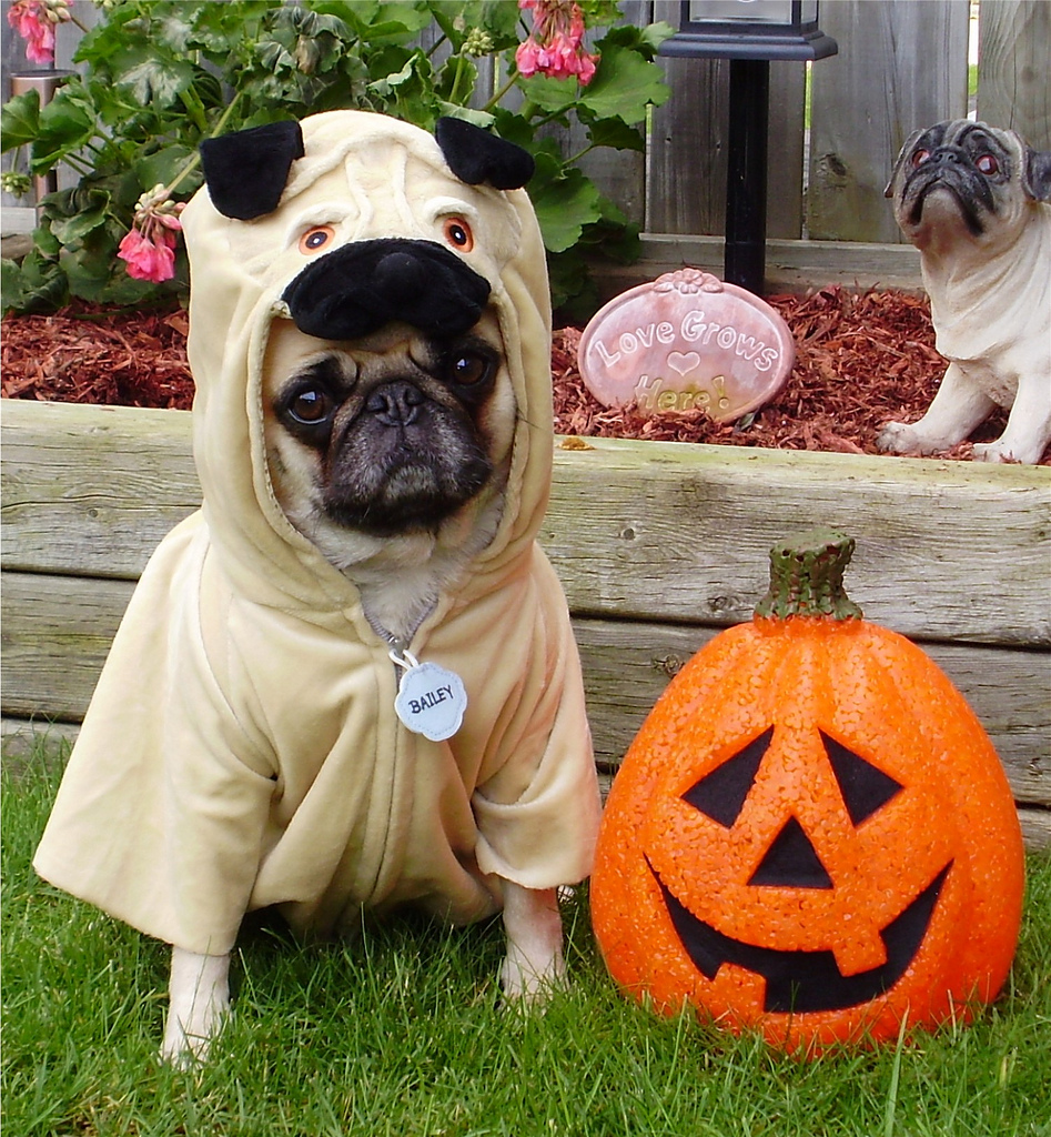 Pug in Halloween costume wallpaper