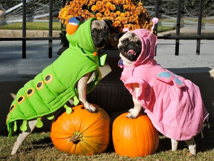 Pugs in Halloween costumes wallpaper