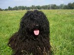 Puli dog on the grass