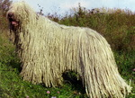 Puli dog on the mountain