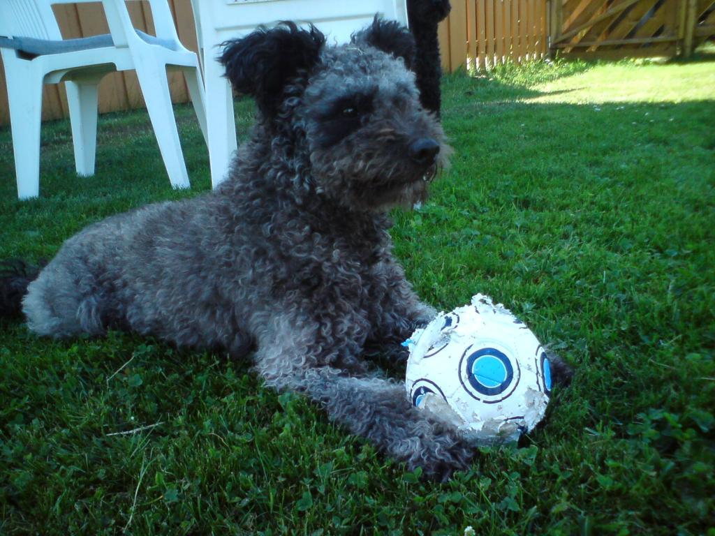 Собака пуми с мячом фото