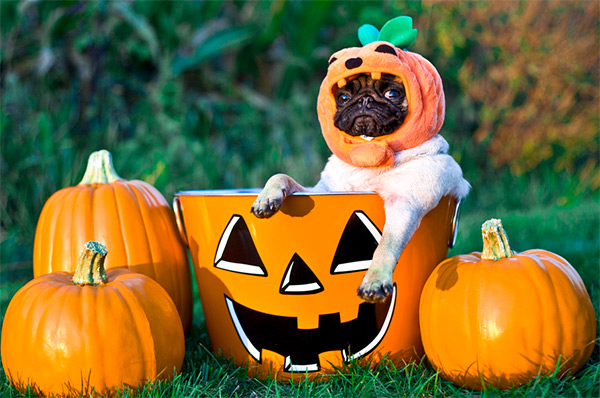 Pumpkin Pug dog wallpaper