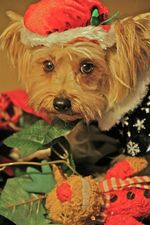 Pumpkin Yorkshire Terrier
