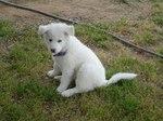 Pungsan Dog puppy