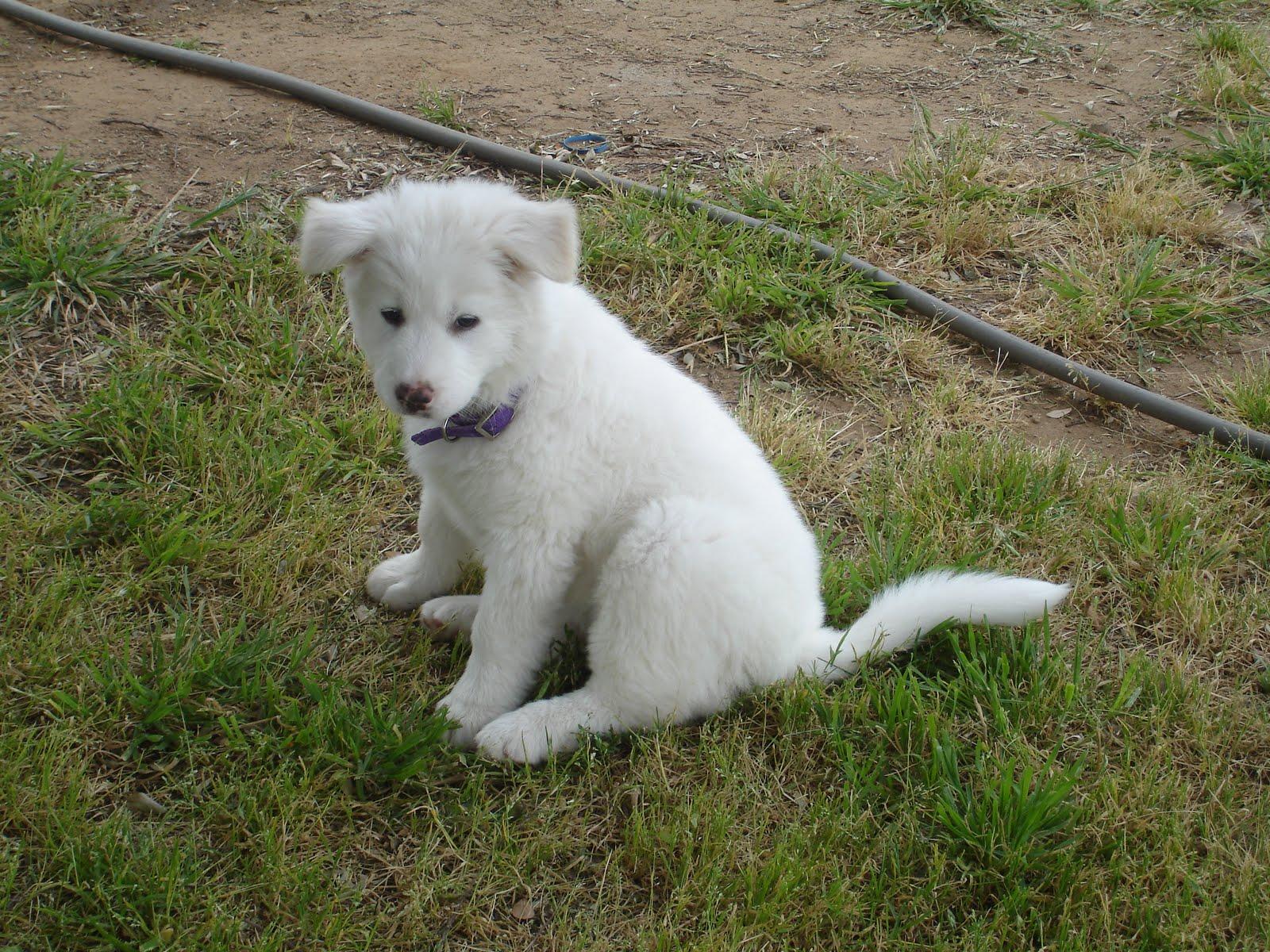 Щенок собаки пхунсан фото