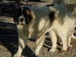 Pyrenean Mastiff dog