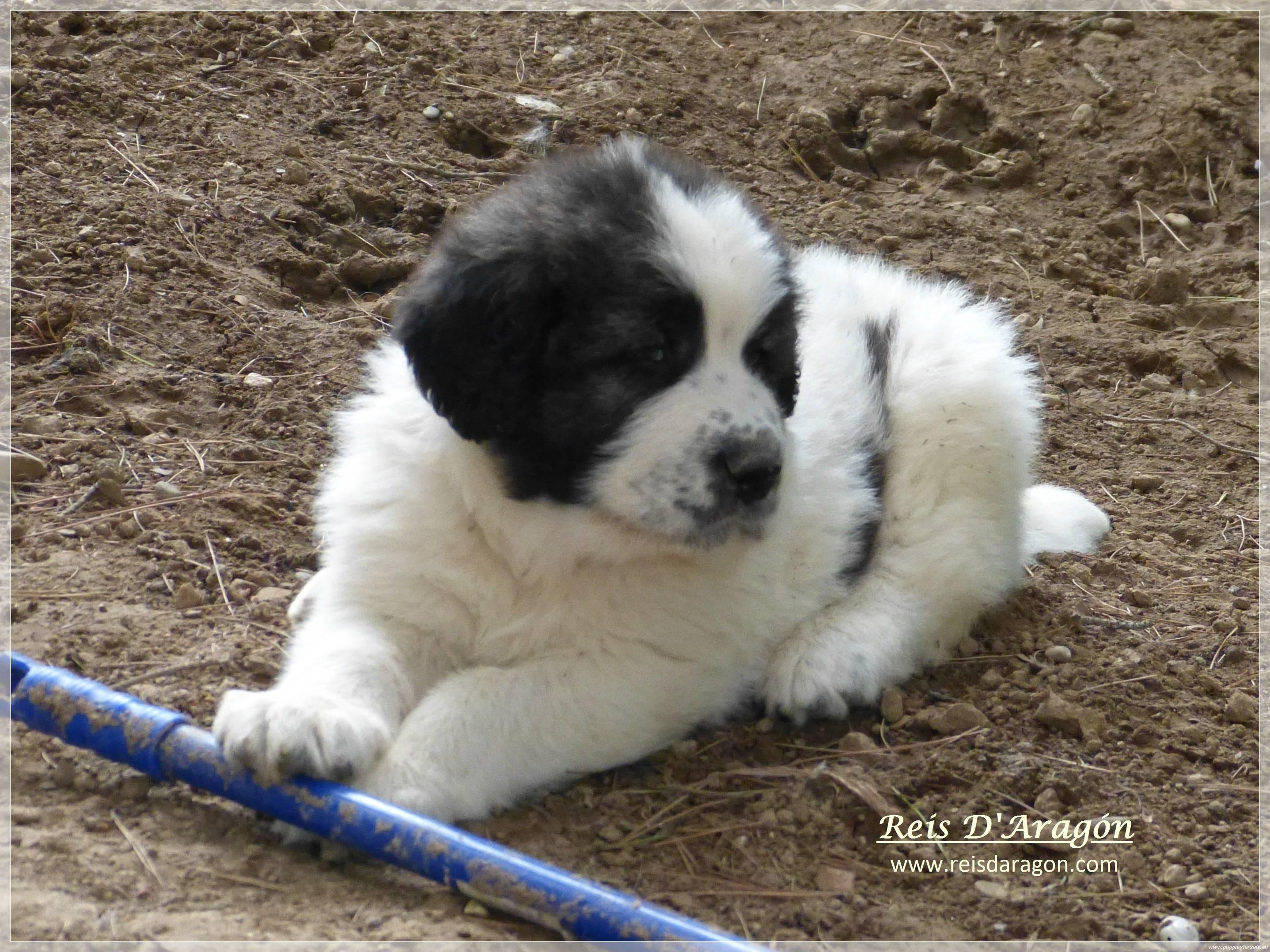 Pyrenean Mastiff with a stick wallpaper