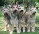 Quaternion lovely Berger Picard dogs