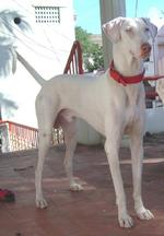 Rajapalayam dog in red collar
