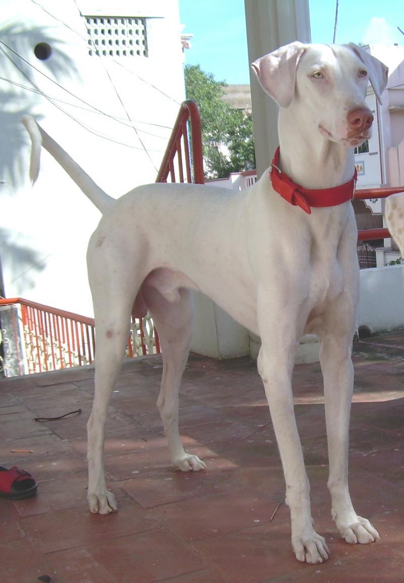 Rajapalayam India  City pictures : Rajapalayam / Indian Sighthound | Sighthounds | Pinterest