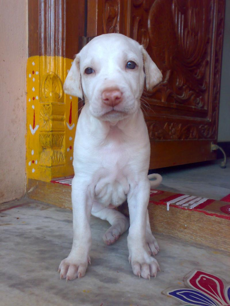 Rajapalayam puppy wallpaper