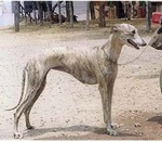 Rampur Greyhound dog face