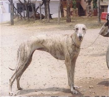 Rampur Greyhound wallpaper