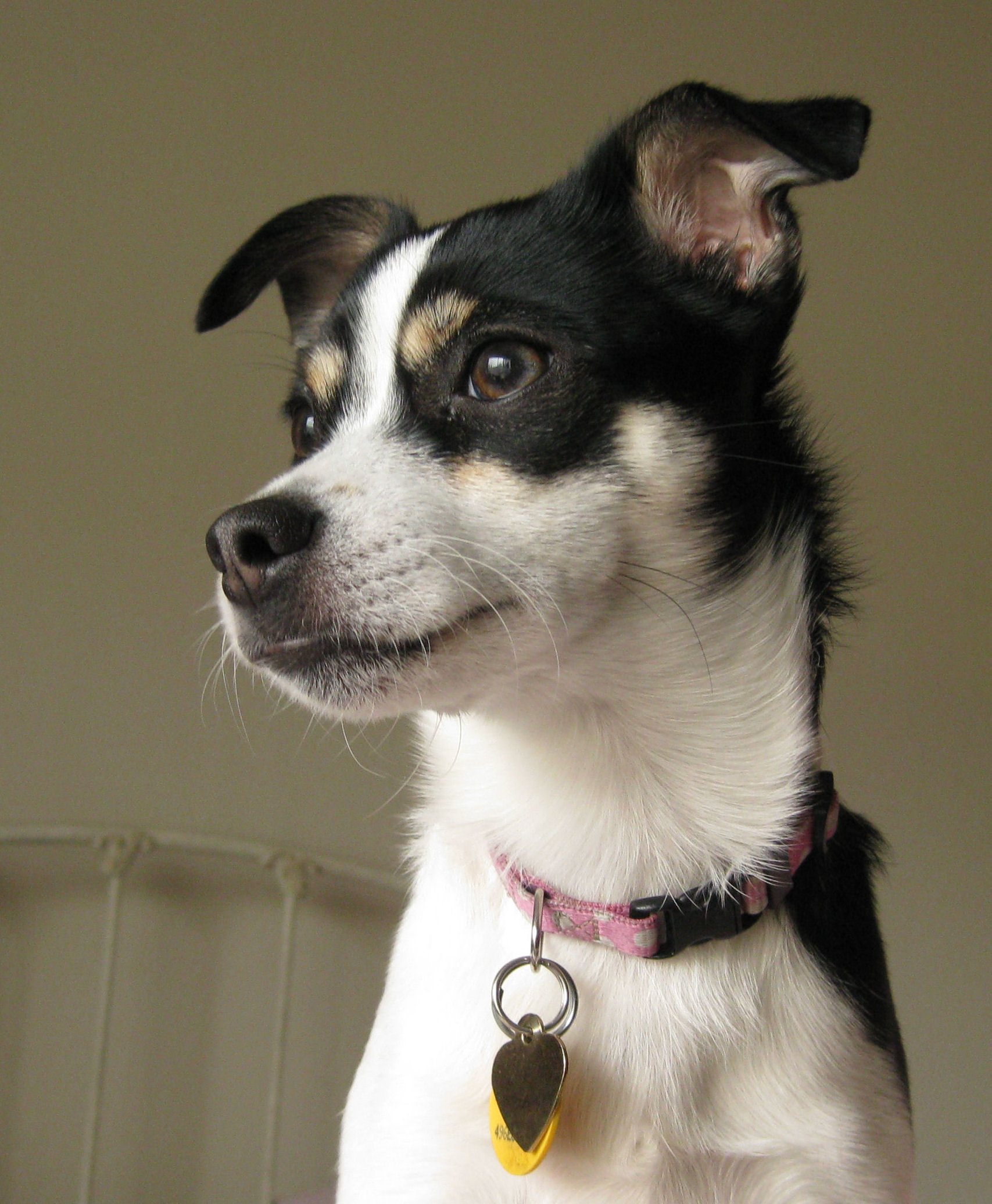 Rat Terrier dog face photo and wallpaper. Beautiful Rat Terrier dog