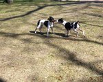 Rat Terrier dogs