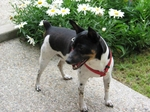 Rat Terrier for a walk