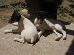 Ratonero Bodeguero Andaluz dogs