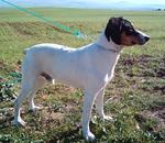 Ratonero Bodeguero Andaluz on the field