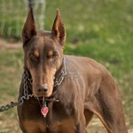 Red and rust Doberman Pinscher dog