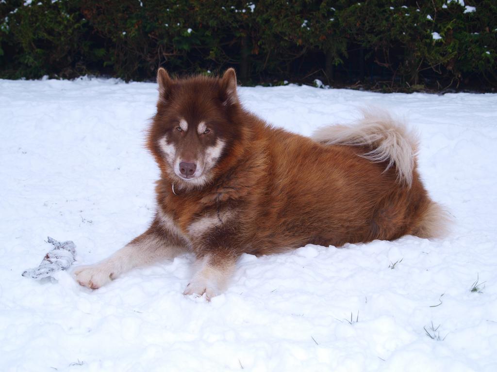 Красная канадская эскимосская собака фото